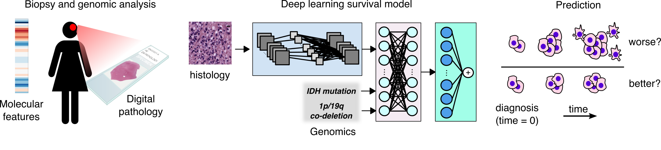 From left to right: The Biopsy and genomic analysis: shades of blue, red, and white creating molecular features, a woman icon with a slide representing digital pathology. Deep learning survival model: a slide representing histology with boxes connected by multiple lines crossing over each other leading to a box with circles that are connected by multiple lines crossing over each other leading to the last box with cirlces that are connecting to one circle by lines. Prediction: cells over and under a line